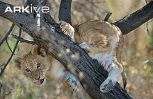 Young-African-lion-cub-climbing-tree