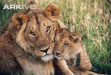 Young-male-African-lion-with-cub
