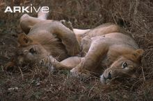 Young-male-Asiatic-lions